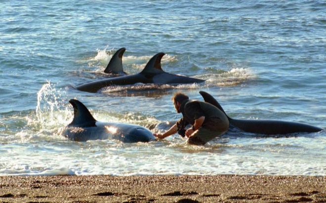 Roberto Bubas junto a un grupo de orcas salvajes en Patagonia.