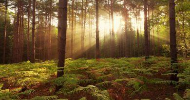 Sol de atardecer sobre bosque y helechos