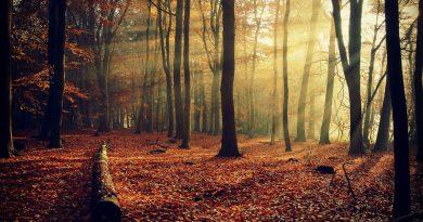 Dentro del bosque (lecho de hojas rojas otoñando) con resplandor del sol de atardecer colándose entre los troncos