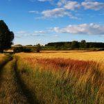 Campo de cereal, camino y árbol en cielo azul