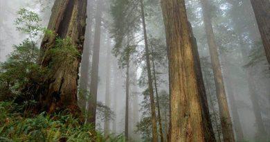 Desde dentro. Bosque de sequoyas