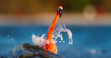 Flamenco mecido sobre la ola