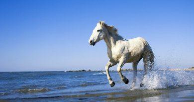 Caballo blanco galopando por la playa
