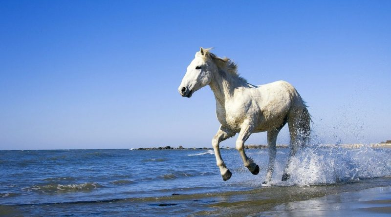 Caballo blanco galopando por la playa