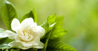 Gardenia con hojas de intenso verde, sobre fondo desvaído verde (fuente: www.gde-Fon.com)