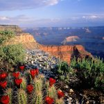 Gran Cañón del Colorado (cactus en flor y vista del cañón)