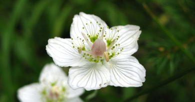 Flor del heno ( fuente: pixabay.com)