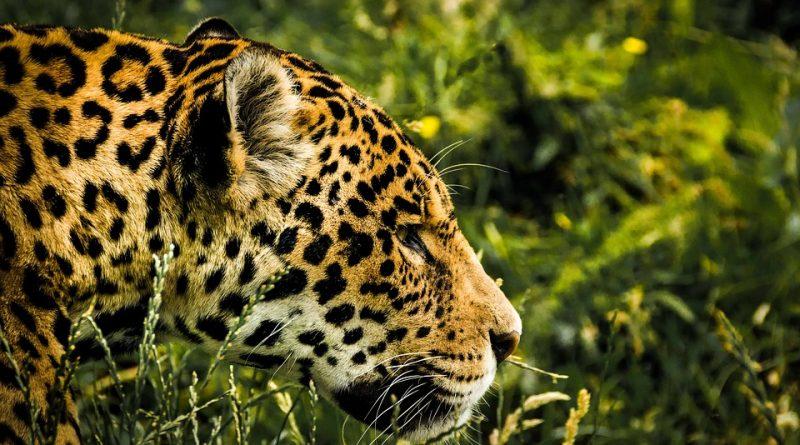 Jaguar (Fuente: freepik.com)