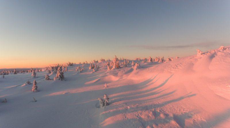 Llanura de abetos nevados a la luz rosada del atardecer