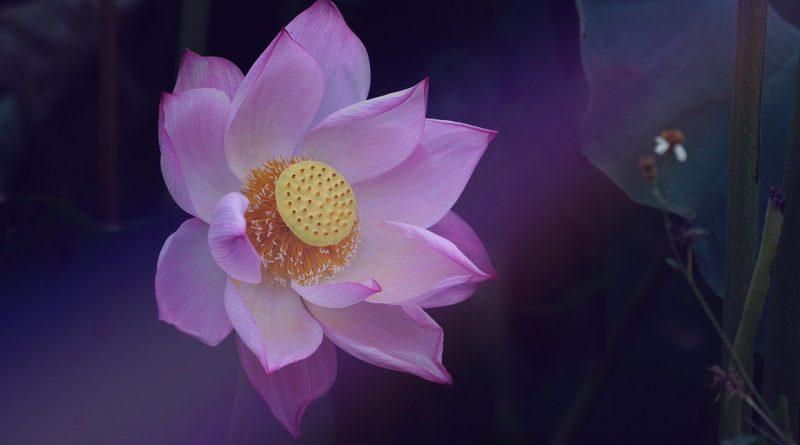 Flor de Loto (Fuente: Pixabay.com - Autor: drphuc)