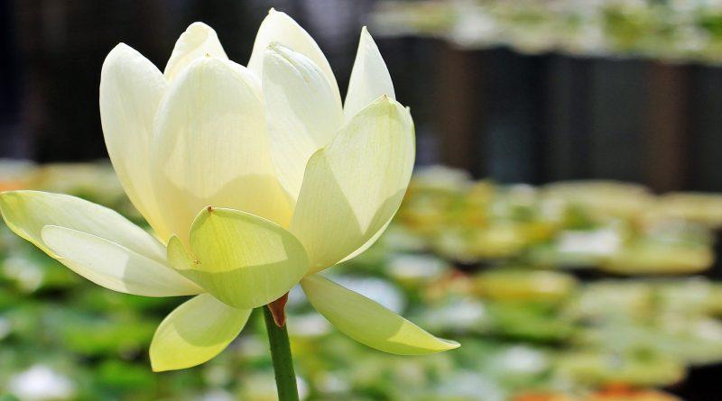 Flor de loto (Fuente: pixabay.com- S. Hermann & F. Richter)