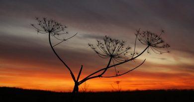 Horizonte rojizo (planta seca de tres ramas y semillas en forma de abanico)