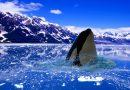 Orca emergiendo en el ártico
