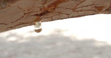 Pentusiasmo (gota de resina colgando de tronco horizontal, sobre fondo desenfocado)
