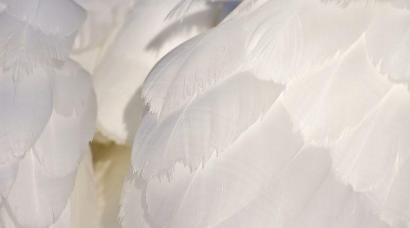 Plumas de cisne (Fuente: pixabay.com)