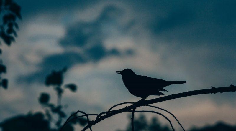 silueta del mirlo al anochecer, posado sobre una rama