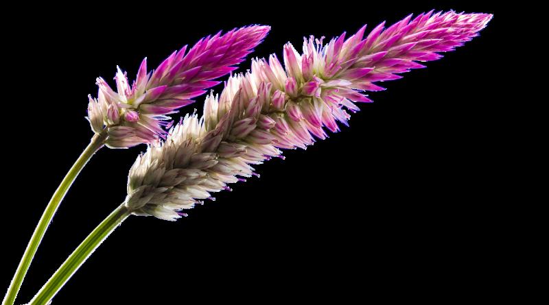 Espiga (Fuente: Pixabay.com - Ángeles Balaguer)