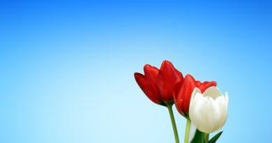Dos tulipanes rojos y uno blanco sobre fondo azul